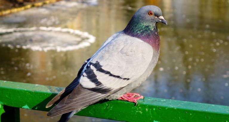 Afgehakte duivenpootjes