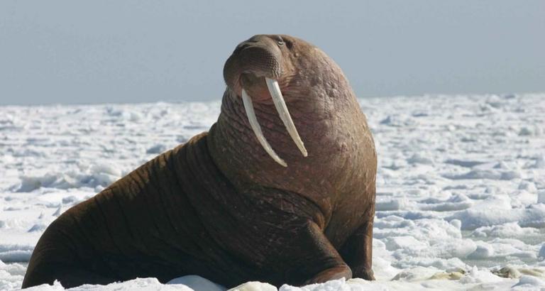 Walrus? Geen Van Gogh