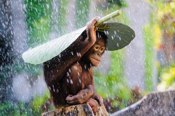 Museon NatGeo Onbekende Wereld Andrew Suryono, Orang Oetan in de regen low res