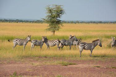 zebras-1016064_1920