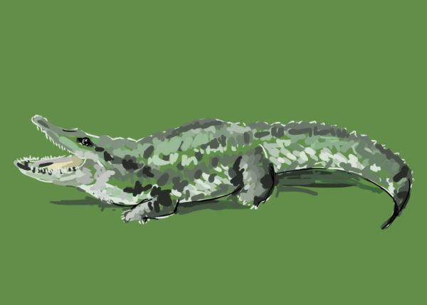 tekeningen dieren krokodil