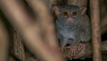 tangkoko-tarsier