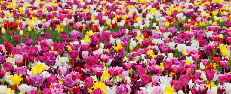 Kamperen tussen de tulpen