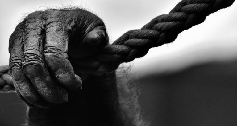 Geblinddoekte apen zijn het