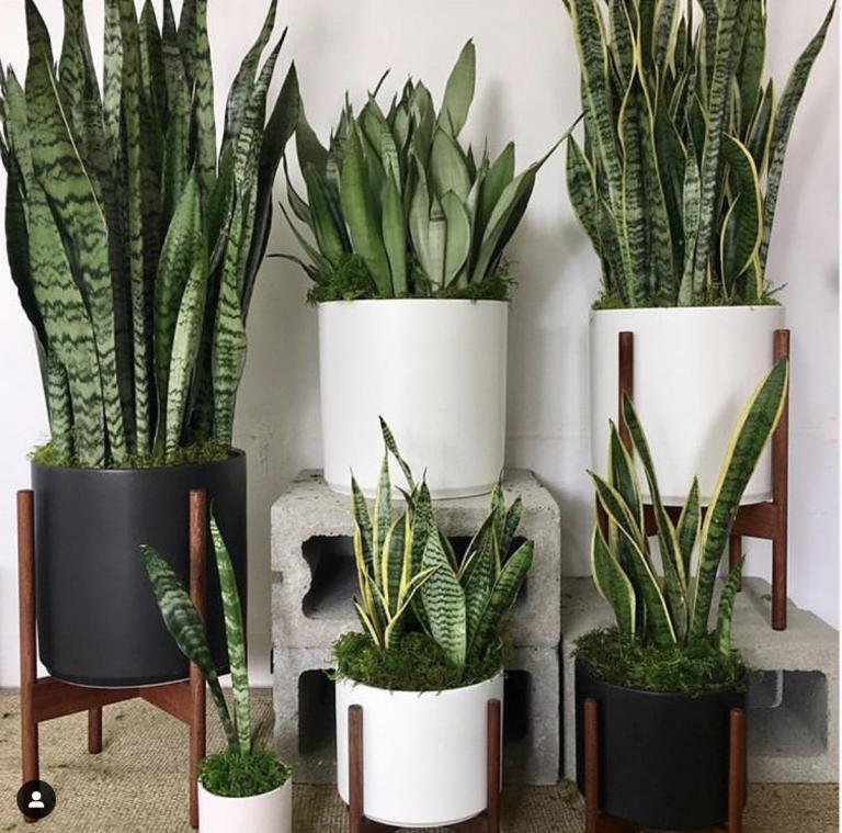 Deze kamerplanten vonden we altijd ouderwets en nu zijn ze ineens heel erg hip