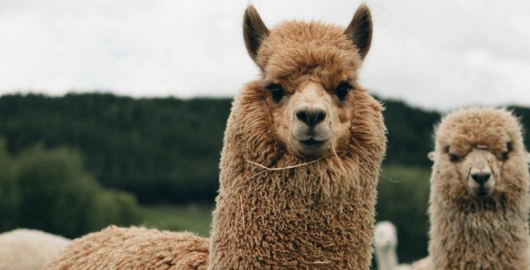 Deze grappige roman over lama's mag je niet missen