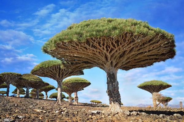 Drakenbloedbomen in Jemen