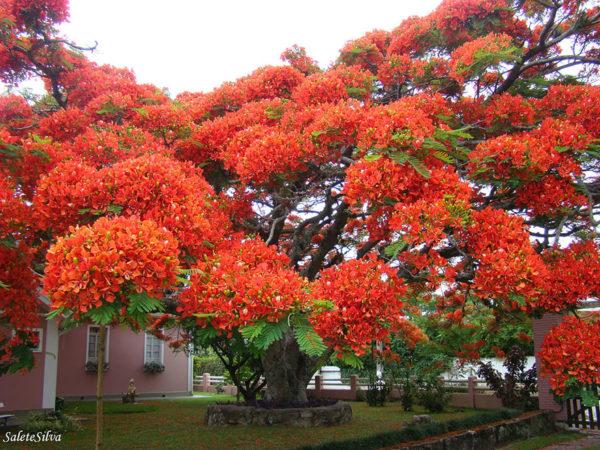 Flamboyant in Brazilië