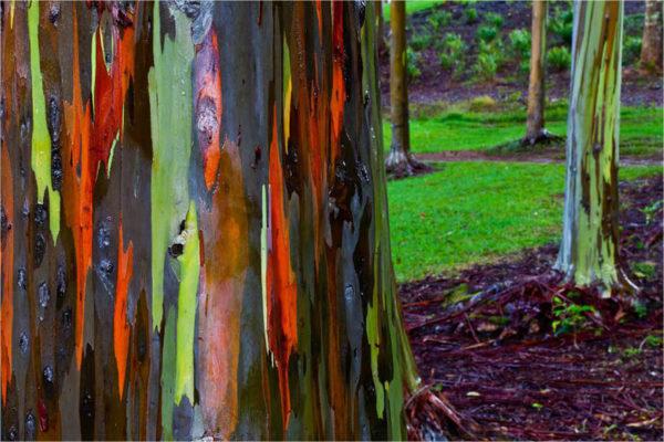 Regenboog Eucalyptus Hawaiï 2