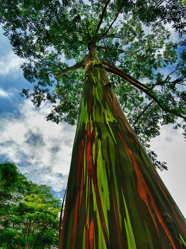 Regenboog Eucalyptus Hawaiï