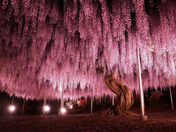 Wisteria in Japan 2